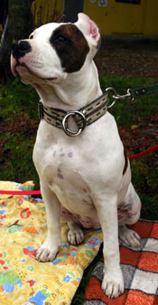 american-staffordshire-terrier-001