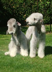 bedlington-terrier-001