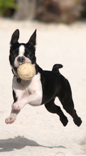 boston-terrier-001