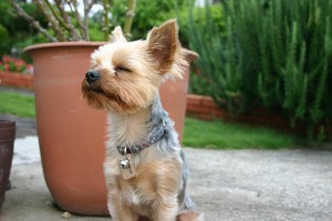 Yorkshire Terrier at the Terrier Mix