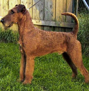 irish-terrier-001