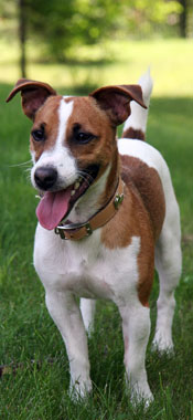 jack-russell-terrier-parson-russell-terrier-001