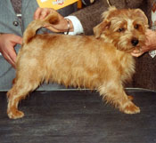 norfolk-terrier-001