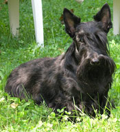 scottish-terrier-001