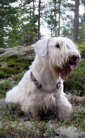 sealyham-terrier-001