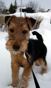 welsh-terrier-001