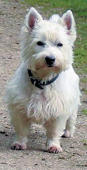west-highland-white-terrier-001