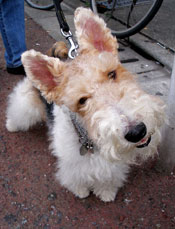 wire-fox-terrier-001